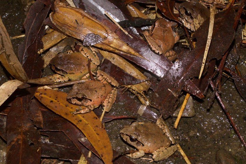 3 brown frogs in wet leaf matter